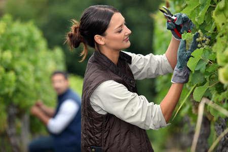 trellis: Couple pruning grape vines Stock Photo