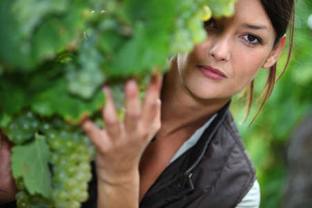 ripeness: Woman checking the ripeness of grapes in a vineyard Stock Photo