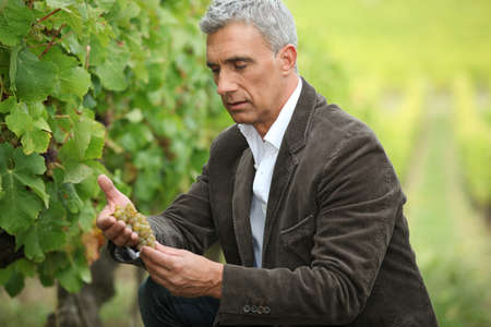 food inspection: Serious man checking grapes before harvest Stock Photo