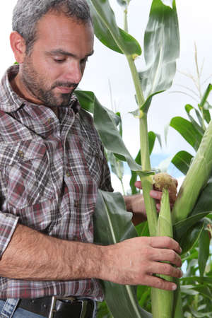 45 55 years: Farmer picking sweetcorn