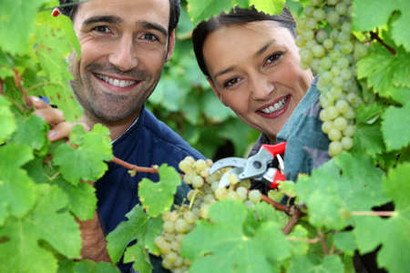 all smiles: couple of wine-growers all smiles amid vineyards