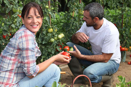 Couple picking tomatoes in garden photo