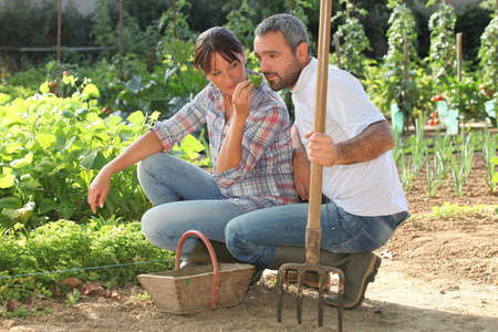 Couple picking produce in a vegetable garden photo