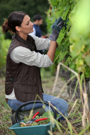 Woman harvesting grapes  photo