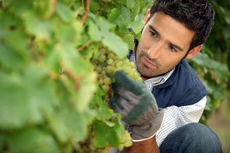 man working in a vineyard photo