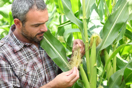 inspecting: Farmer stood in corn field Stock Photo