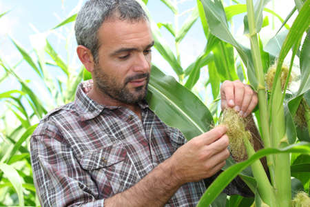 inspecting: Farmer looking at sweetcorn in a field