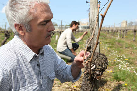 Circumstance: Winegrowers pruning vines