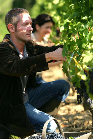 wine grower: Couple pruning vines