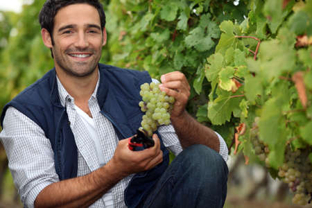 winemaker: Harvesting the grapes. Stock Photo