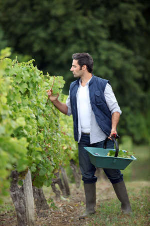 Farmer checking on his grapes. photo