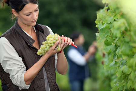 biological vineyard: Winemaker with bunch of grapes