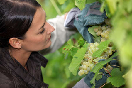 Grape grower examining her grapes Stock Photo - 13767358
