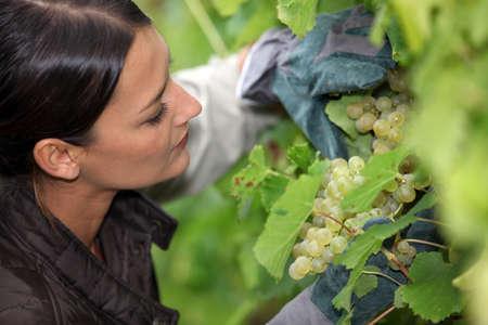 Grape grower examining her grapes Stock Photo - 13767358