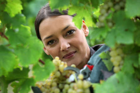 wine grower: female wine producer  cropping grapes