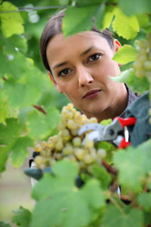 Woman gathering grapes from vine photo