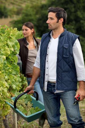 landowners: Grape picking Stock Photo
