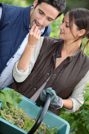 A couple harvesting grapes. Stock Photo - 13767628