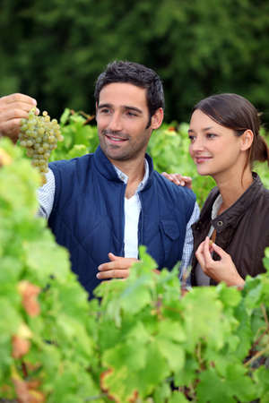 Grape growers picking grapes in their vineyard Stock Photo - 13767540