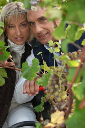 A couple harvesting grapes. photo