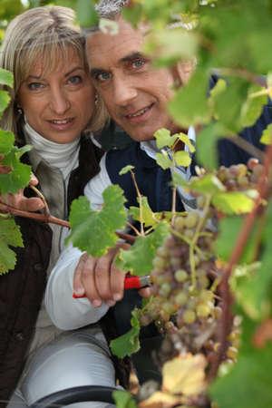 A couple harvesting grapes. photo