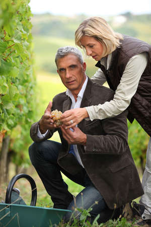 wine stocks: Couple picking grapes together