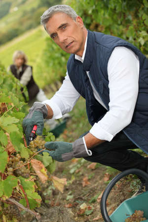 wine grower: 50 years old man and woman doing grape harvest
