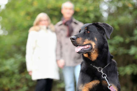 Senior couple walking dog Stock Photo - 13792043
