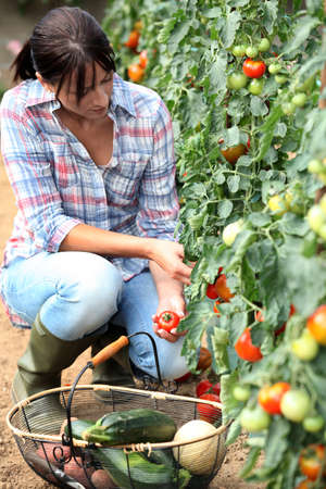 rubber plant: Woman picking tomatoes Stock Photo