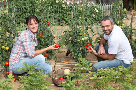 allotment: Couple picking tomatoes