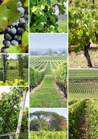 wine grower: vines and vine shoots Stock Photo