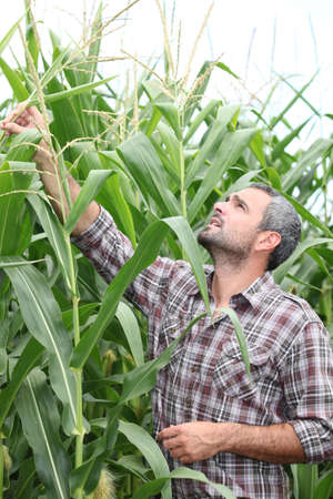 tending: Farmer checking his cornfield Stock Photo