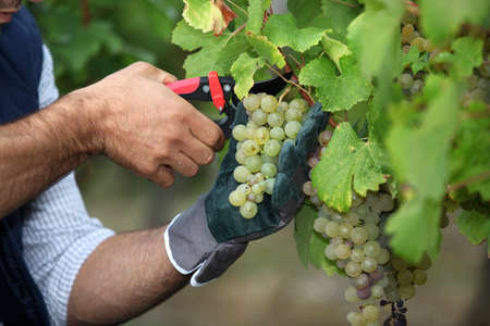 chardonnay: Pruning grapes