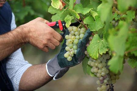pruning: Pruning grapes
