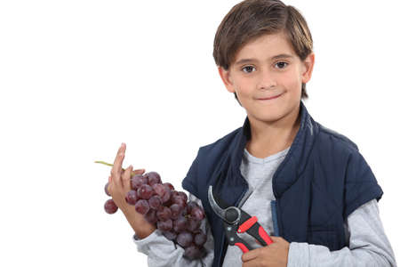 snipping: Young boy with secateurs and a bunch of grapes