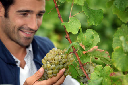 grower: Grape grower admiring his grapes
