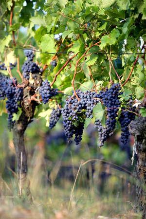 sauternes: grapes on a vine