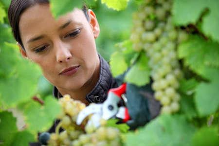 Woman pruning grape vine photo