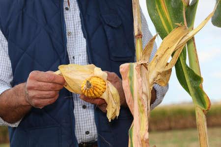 farmer in field with corn cob photo