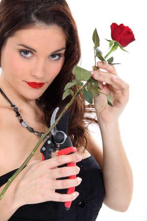 pruning shears: Woman pruning red rose