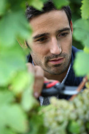 wine grower: grape-picker in vineyard with clippers Stock Photo