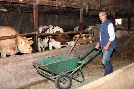 muck: Farmer in a cattle shed Stock Photo