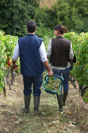 Couple picking grapes photo