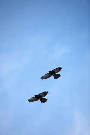 swooping: Birds in the sky