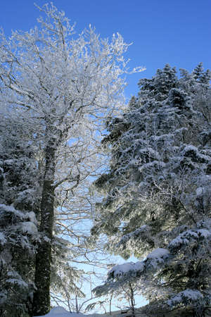 coldly: trees covered with snow