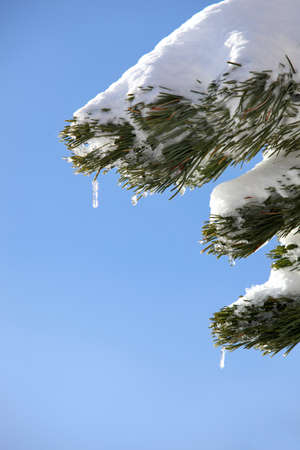 Mini icicles hanging from a pine tree photo