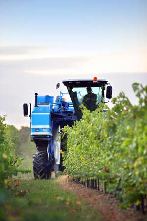 tow tractor: Harvesting grapes Stock Photo