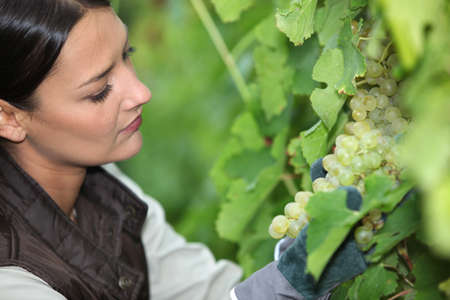 biological vineyard: Woman looking bunch of grapes