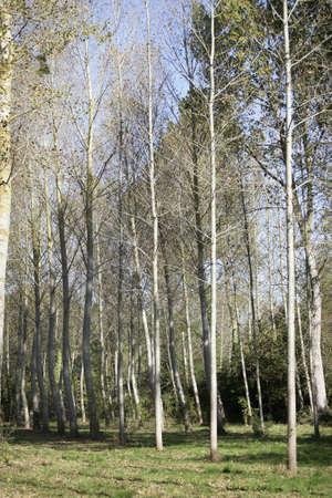 poplars: Young poplars