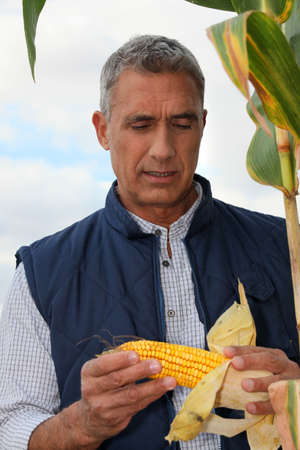 Farmer looking at a cob of sweetcorn photo